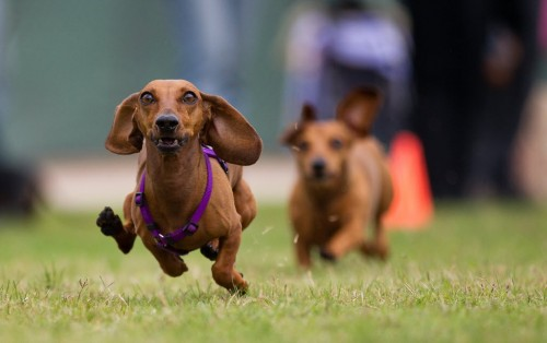 Dachshund Racing presented by Michigan Muscle at the Scarecrow Festiva